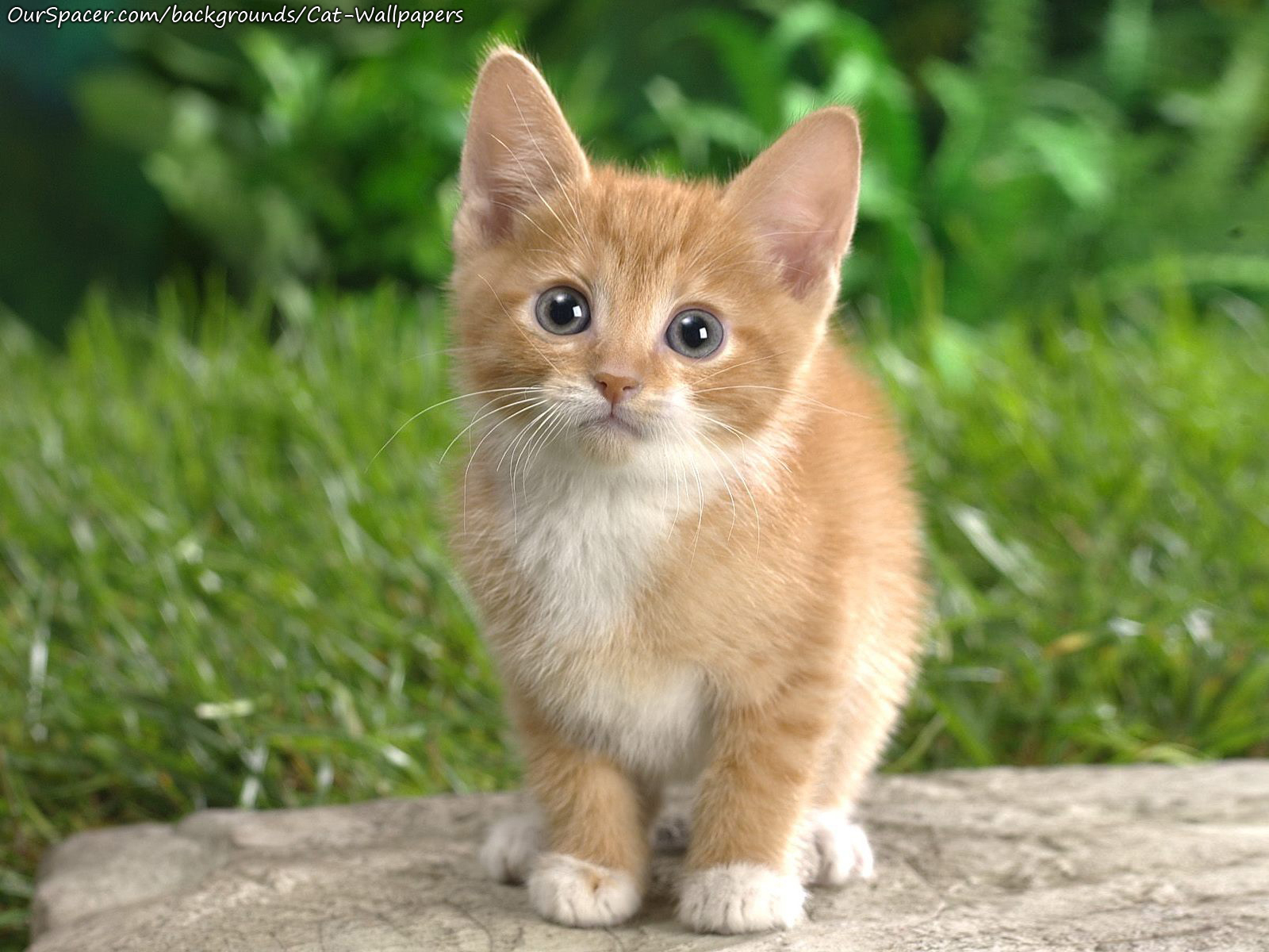 Adorable cute cat staring into the camera wallpapers for myspace, twitter, and hi5 backgrounds
