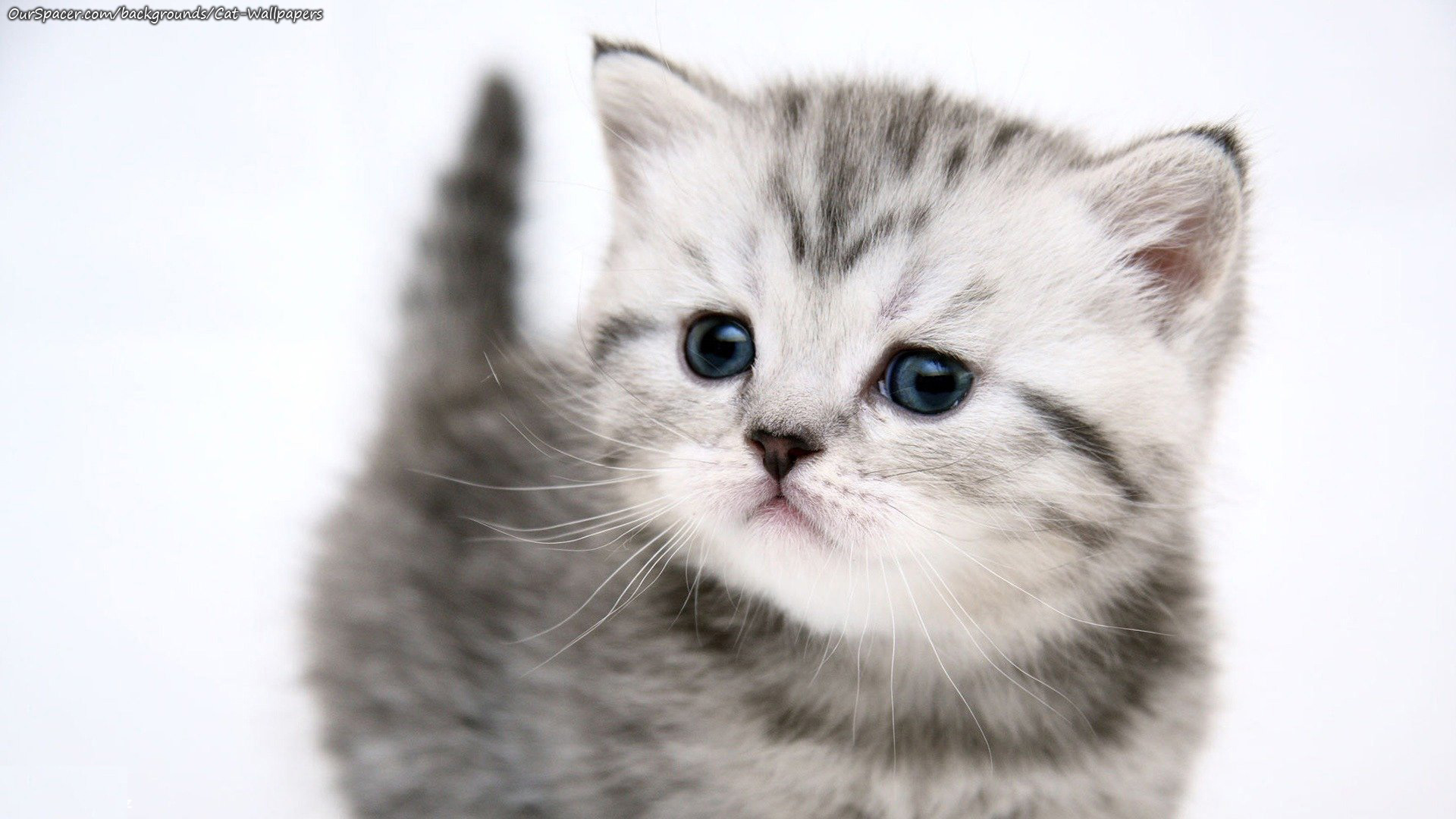 Black and white kitten wallpapers for myspace, twitter, and hi5 backgrounds