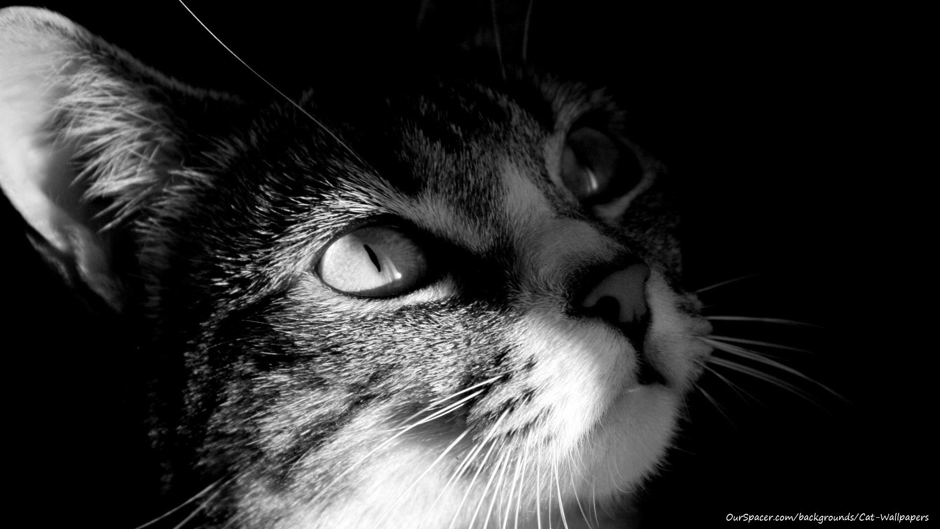 Black and white striped cat 1920x1080 wallpapers for myspace, twitter, and hi5 backgrounds