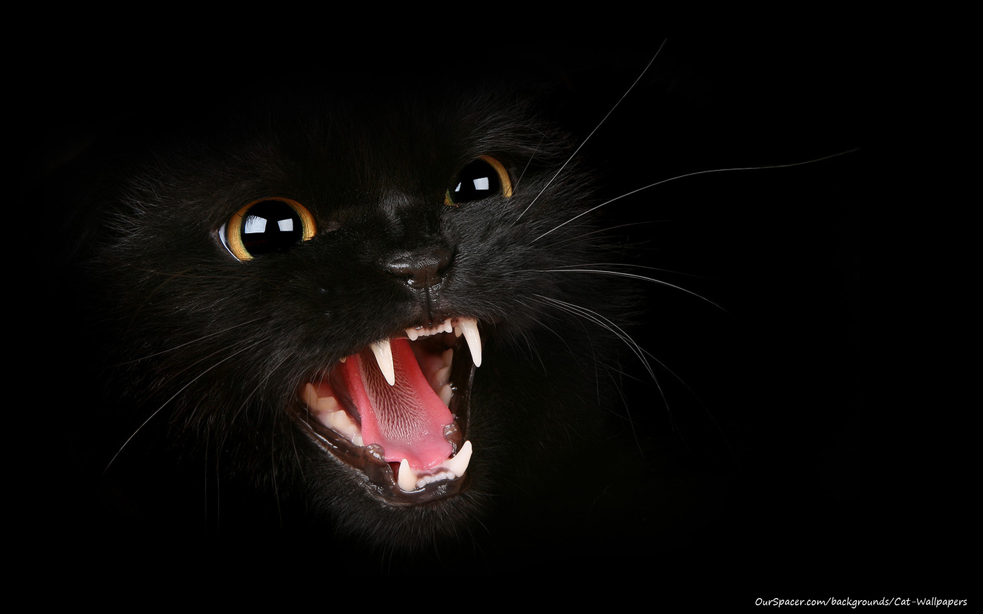 Black cat hissing wallpapers for myspace, twitter, and hi5 backgrounds