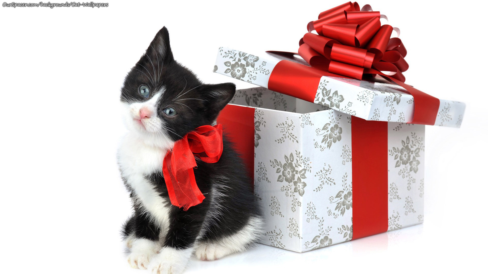 Black kitten with white muzzle and belly wareing a birthday bow wallpapers for myspace, twitter, and hi5 backgrounds
