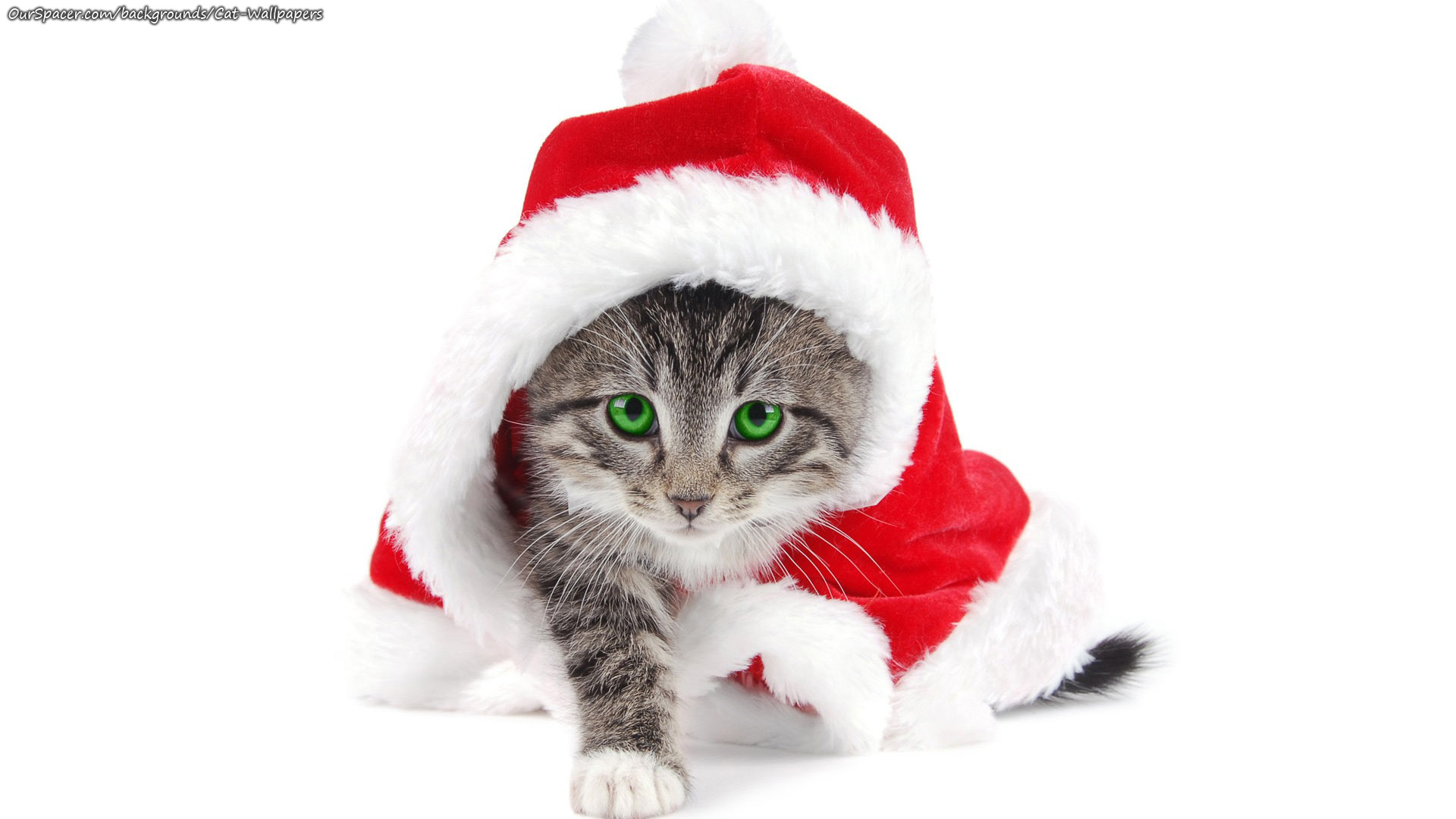 Cat wearing a Santa outfit wallpapers for myspace, twitter, and hi5 backgrounds