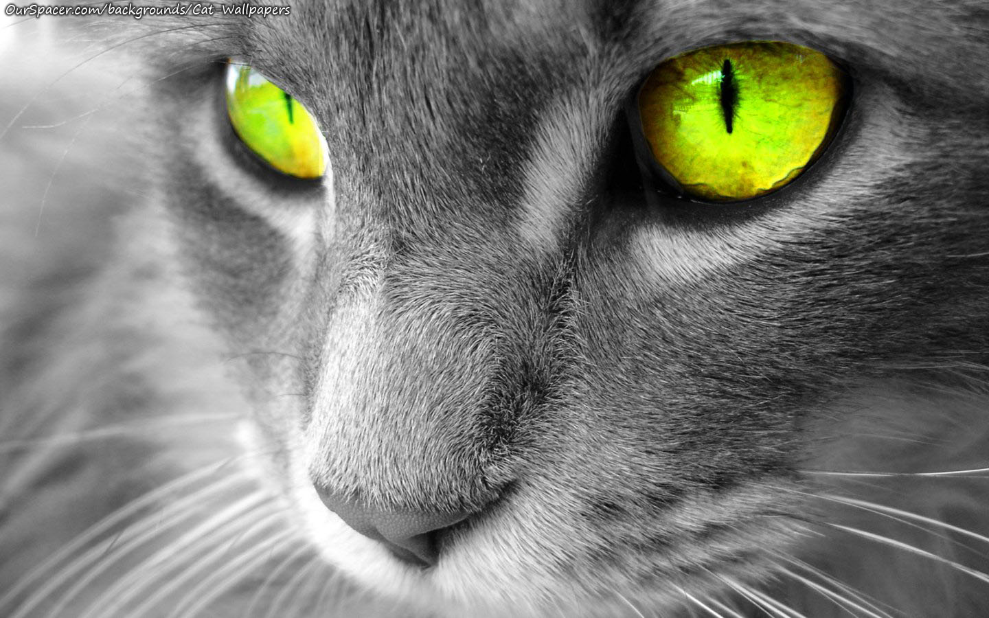 Closeup of a grey cat with yellow eyes wallpapers for myspace, twitter, and hi5 backgrounds