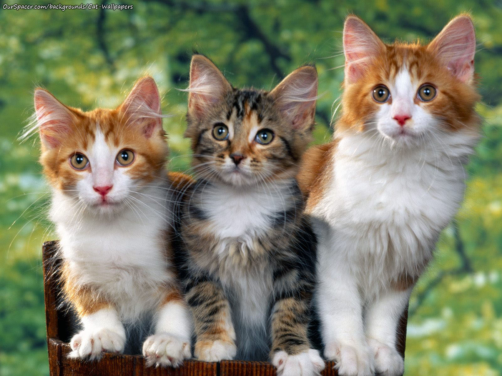 Three cats wallpapers for myspace, twitter, and hi5 backgrounds