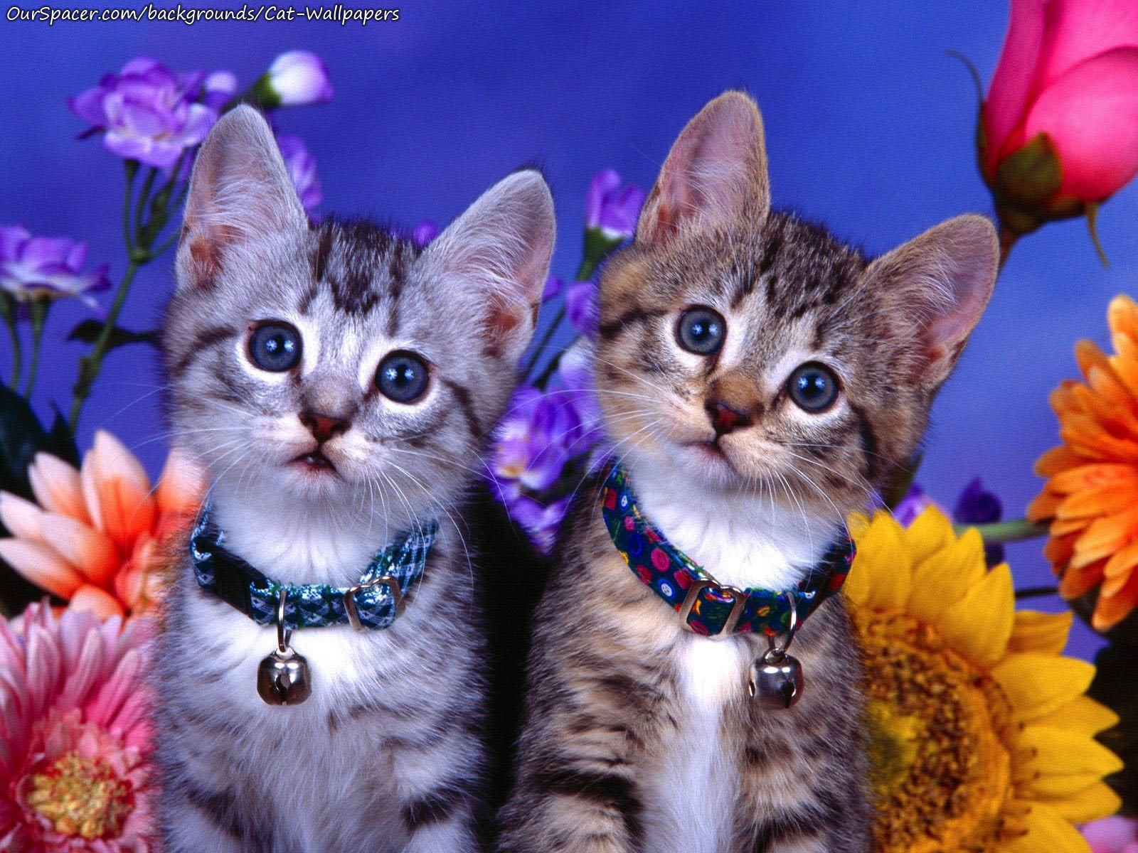 Two cats with jingle bells on their necks wallpapers for myspace, twitter, and hi5 backgrounds