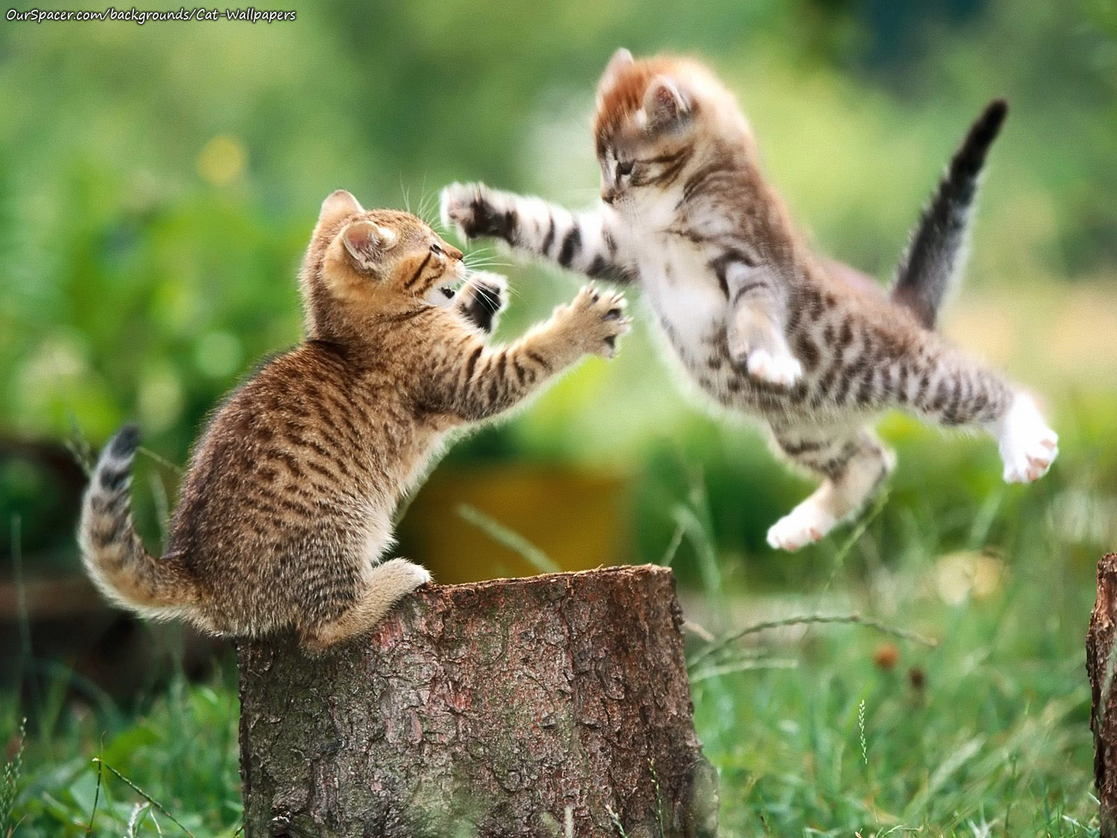 Two kittens sparring wallpapers for myspace, twitter, and hi5 backgrounds